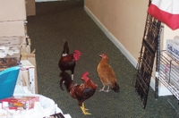 Thechickens